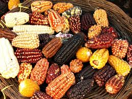 diversidad genética en maiz