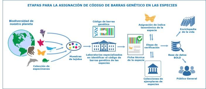 Etapas para la asignación de código de barras genético en las especies