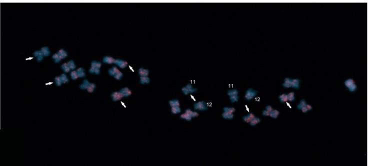 Técnica de FISH sobre cromosomas de pimiento